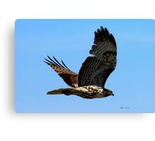 Redtail Hawk in flight Canvas Print