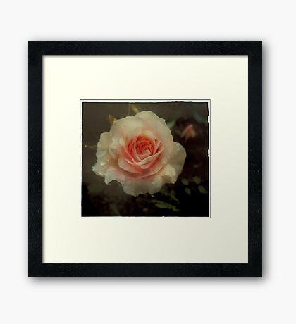 Old fashioned pink rose Framed Print