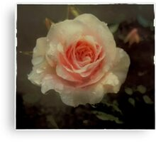 Old fashioned pink rose Canvas Print