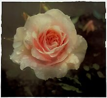 Old fashioned pink rose Photographic Print