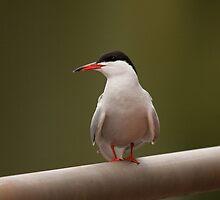 Common Tern by Jon Lees