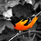 Oriole by Sheryl Langston