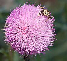 Thistle-loving bug by Robert Kelch, M.D.