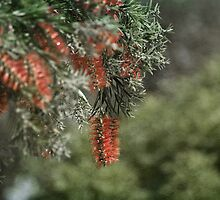 Weeping Bottlebrush by garts