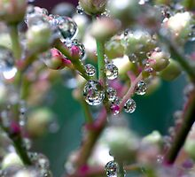 Water droplets on nandina stems by DaveMoffatt