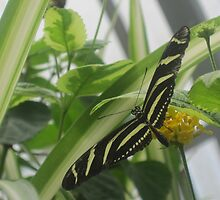 Zebra Longwing by sunsetgirl