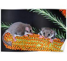 """ FEATHERTAIL GLIDER "" Poster"
