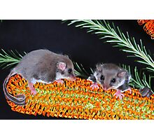 """"""" FEATHERTAIL GLIDER """" Photographic Print"""