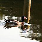 Mallard Swim by Eileen McVey