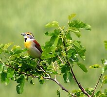 Dickcissel by Dave & Trena Puckett