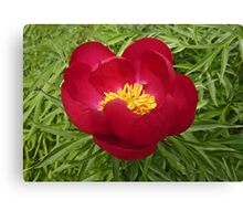 Japanese Tree Peony Canvas Print