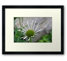 White Echinacea Flower Framed Print