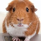 Guinea Pig Gets An Education  by susan stone