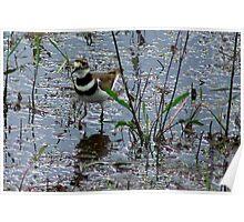 Killdeer in Wetlands Poster