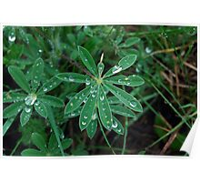Water drops on leaves Poster