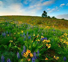 Meadow Gold by DawsonImages