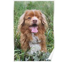 Paddy the one eyed Nova Scotia Duck Tolling Retriever Poster