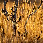 Golden Spinifex by Dieter Tracey