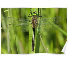 Downy Emerald Dragonfly Poster