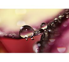 Beautiful Pansy Drops Photographic Print