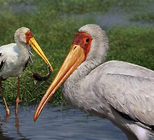 YELLOW-BILLED STORK (Mycteria ibis) DIGITAL PAINTING. NOT A PHOTOGRAPH by DilettantO