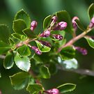 Pink buds by Elaine Hillson