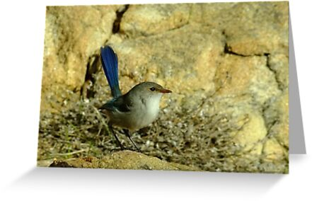 Another Fairy Wren - Sugar Loaf Rock, Western Australia by Karen Stackpole