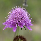 Scabiosa Maritima by marens