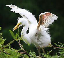 Baby Egret Spreading their Wings by Paulette1021
