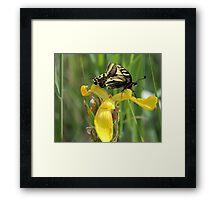 Swallowtail on Flag Iris Framed Print