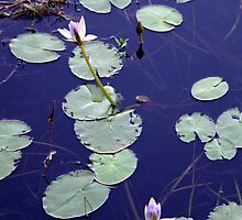Water Lily by rom01