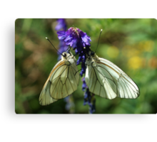Black-veined Whites Canvas Print