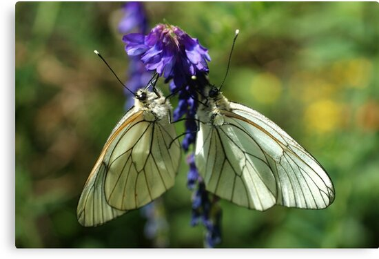Black-veined Whites by marens