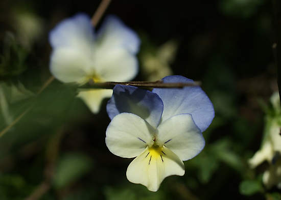 Wild Pansy by marens