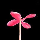 Underside Macro of Ixora Flower by Glenn Cecero