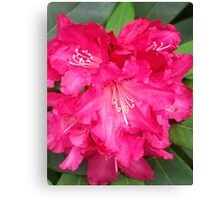 Rhododendron In Pink Canvas Print