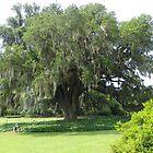 Airlie Oak Wilmington NC by MeMeBev