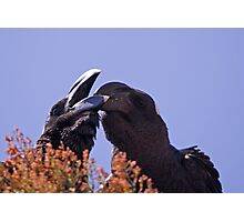 Ethiopia - thick billed ravens Photographic Print