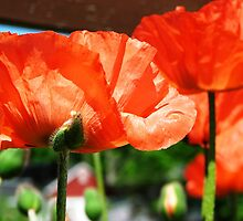 Pink Poppies by angbet31