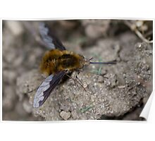 Bee Fly Poster