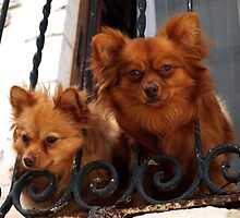 A Beautiful Pair of Pomeraneans (Maltese variety called locally ' Tal-Lulu' ' by Anthony Vella