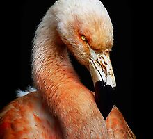 Chilean Flamingo by HJIrvine