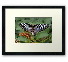Blue Clipper Butterfly Framed Print