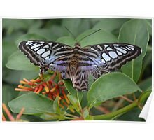 Blue Clipper Butterfly Poster