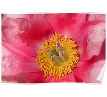 Pink Peony Flower Close-up Poster