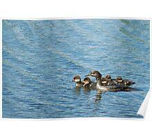 Hooded Merganser with ducklings Poster