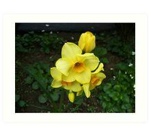 Multiple Daffodils Art Print