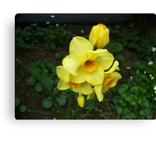 Multiple Daffodils Canvas Print