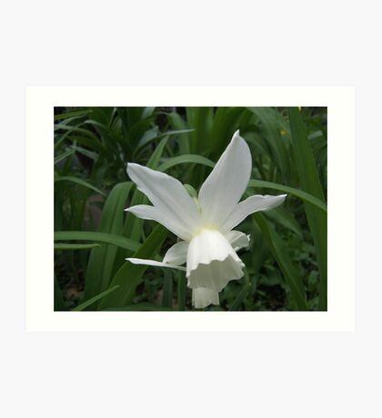 A Beautiful White Daffodil Art Print
