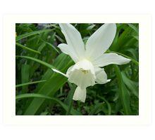 One perfect white daffodil Art Print